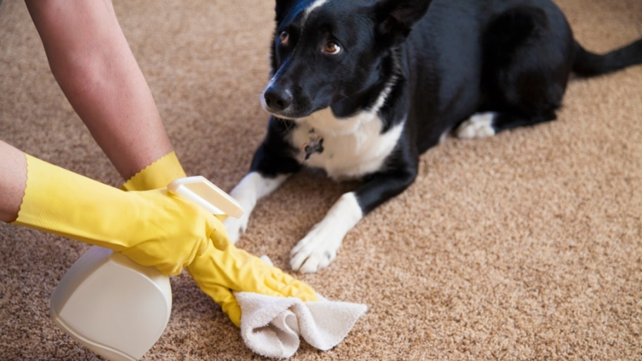xixi-cleaning-pet-stain-carpet